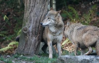 Loups_01