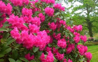 Rhododendrons_Jardins_de_Callunes_01
