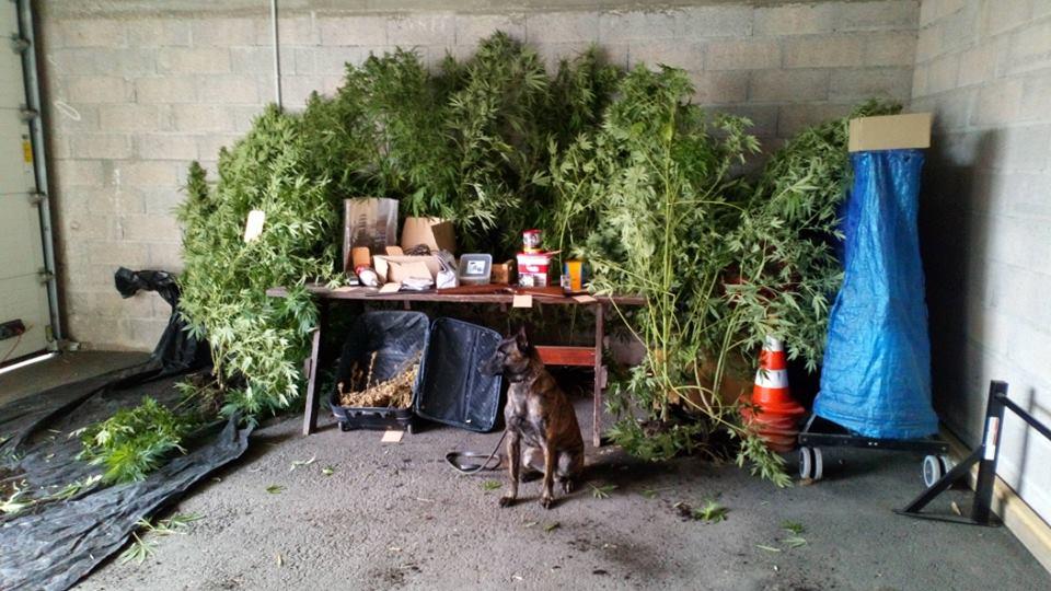 Cannabis_Fraize