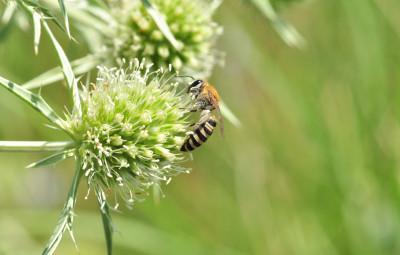 abeille solitaire_chardon roland