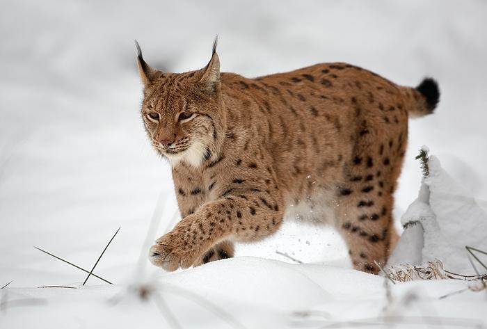 Lynx_(Martin_Mecnarowski)